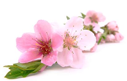 Sake Flower